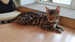 Exclusive Bengal kittens Lviv